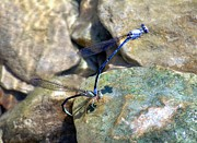Dragon Fly Photo Prints - Refueling Dragonflies Print by Peggy  Franz