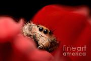 Scott Linstead - Regal Jumping Spider In Flower