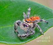 John Serrao - Regal Jumping Spider