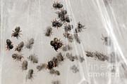 Scott Linstead - Regal Jumping Spiderlings
