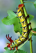 Robert Jensen Metal Prints - Regal Moth Caterpillar Metal Print by Robert Jensen