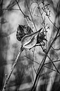 Milkweed Photos - Regarding Retirement 2 by Steve Harrington