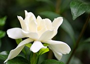 Gardenias Photos - Rejoicing Life by Maria Urso