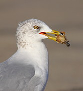 Sea Gull Prints - Relatives For Dinner Print by Robert Frederick