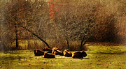 Bison Photos - Relax Moment by Iris Greenwell