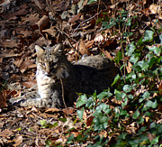 Photos Of Cats Prints - Relaxing Male Bobcat Print by Eva Thomas
