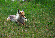 Relaxing Red Fox Print by Robert Bales