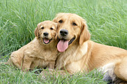Golden Puppy Prints - Relaxing Retrievers Print by Greg Cuddiford