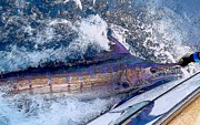 Blue Marlin Photo Metal Prints - Release Metal Print by Carey Chen