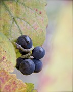 Pinot Noir Photos - Remaining Few by Colleen Williams