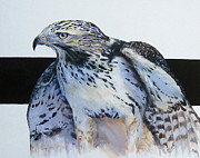 Red Tail Hawk Paintings - Remembering Blanco by Mary McCullah