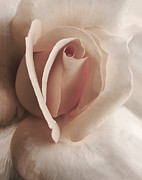 Light Peach Framed Prints - Renaissance Rose Flower Framed Print by Jennie Marie Schell