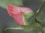 Rose Bud Framed Prints - Rendition Of A Rose Framed Print by Deborah Benoit