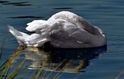 Dale   Ford - Reposing Swan