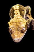 Simon Bratt Photography - Reptile close up on black