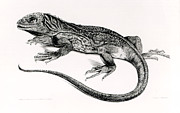 Lizards Paintings - Reptile by English School