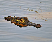 American Alligator Prints - Reptile Reflection Print by Al Powell Photography USA