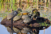 Alligators Photos - Reptile Refuge by Al Powell Photography USA