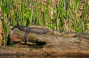 Al Powell Photography USA - Reptile Relaxation