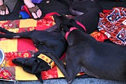Jim Vansant - Rescue Greyhounds at the...