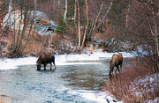 Bull Creek Prints - Residential Moose Print by Ron Day