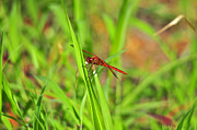 Dragon Fly Photo Framed Prints - Resplendent Red Framed Print by Al Powell Photography USA