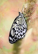 Angelic Photo Prints - Restful Butterfly Print by Sabrina L Ryan