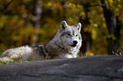 Arctic Wolf Pics Posters - Resting Arctic Wolf On Rocks Poster by Wolves Only