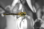 Dragonfly Macro Photos - Resting by Cheryl Young