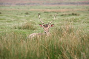 Mark Severn Posters - Resting Deer Poster by Mark Severn