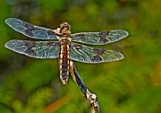 Junius Posters - Resting Dragonfly Poster by Robert Bales