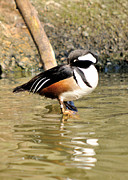 James Lewis Prints - Resting Drake Hooded Merganser Print by James Lewis