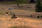 Bull Elk Posters - Resting Elk at Sundown Poster by Julie Magers Soulen
