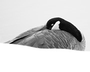 Ornithology Prints - Resting Goose in BW Print by Anita Oakley