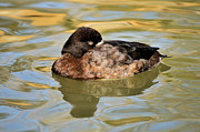 James Lewis Metal Prints - Resting Hen Scaup Metal Print by James Lewis