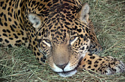 Frank Larkin - Resting Jaguar