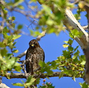 Hawk Photographs Prints - Resting Print by Johanne Peale