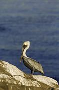 Resting Pelican Print by Sebastian Musial