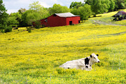 Cows Photos - Resting Place by Amy Tyler