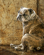 Bulldog Framed Prints - Resting Place Framed Print by Judy Wood