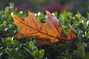 Leaves - Resting Place by Robert Ullmann