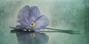 Pansy Photos - Resting by Priska Wettstein