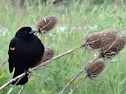Bottomlands Photo Posters - Resting Red-Winged Blackbird  Poster by Lizbeth Bostrom