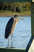 Great Blue Heron Photos - Resting by Suzanne Gaff