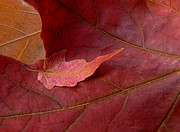 Red Maple Leaves Posters - Resting Tiny Maple Leaf Poster by Jennie Marie Schell