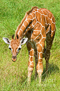 Jacksonville Framed Prints - Reticulated Giraffe 6 Week Old Calf Framed Print by Millard H. Sharp
