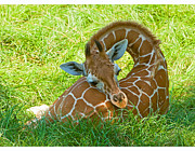 Zoo Animals Posters - Reticulated Giraffe 6 Week Old Calf Resting Poster by Millard H Sharp and Photo Researchers