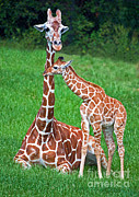 Jacksonville Prints - Reticulated Giraffe Calf With Mother Print by Millard H. Sharp