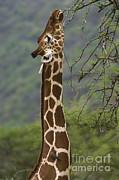 John Shaw - Reticulated Giraffe Eating From Acacia