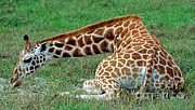 Jacksonville Prints - Reticulated Giraffe Resting Print by Millard H. Sharp